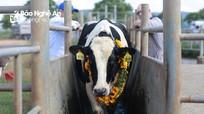 """Tập đoàn TH sản xuất sữa tươi sạch từ các """"cô bò"""" chuẩn quốc tế"""