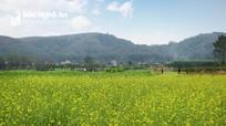 Nghệ An sẽ có cánh đồng hoa cải khổng lồ