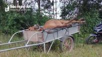 Bắt đối tượng vận chuyển bò chết vì viêm da nổi cục đi tiêu thụ