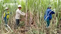 Công ty CP Mía đường Sông Con: Hài hòa lợi ích với nông dân