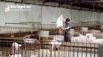 Băn khoăn tái đàn trước dịch tả lợn châu Phi
