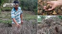Nắng nóng khốc liệt, hàng nghìn ha cây trồng ở Nghệ An chết khô chết cháy
