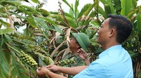 Hàng tấn quả dược liệu ở vùng cao Nghệ An chờ thương lái 'giải cứu'