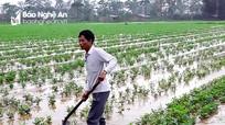 Mưa lụt gây khó cho vùng màu ở Nghệ An