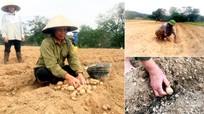 Anh Sơn xây dựng mô hình trồng khoai tây Đức
