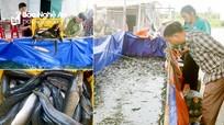 Nuôi cá lóc mõm nhím ở Quỳnh Lưu (Nghệ An) lãi hàng trăm triệu đồng