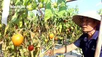 Nhiều diện tích cà chua ở Quỳnh Lưu chết bất thường