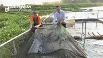 Nghệ An: Nuôi cá chép giòn, cá lóc đầu nhím lãi hàng trăm triệu đồng