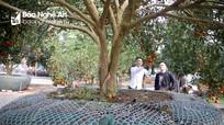 Cây quýt rừng chưng Tết được hét giá 100 triệu đồng ở Nghệ An