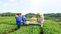 Nghệ An được mùa chè xuân, nông dân 'bỏ túi' hàng chục triệu đồng