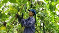 Nghệ An: Bí vào mùa thu hoạch, thương lái đến tận ruộng đặt mua