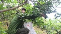 Chanh trái vụ ở miền núi Nghệ An được thương lái thu mua tận vườn