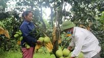 Nông dân Con Cuông được mùa bưởi, thu lãi hàng trăm triệu mỗi vườn