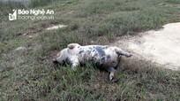Nguy cơ tái bùng phát dịch tả lợn châu Phi sau mưa lũ ở Nghệ An