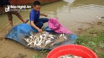 Nghệ An: Cá chết trắng trên sông Con do có 'nguồn nước lạ' chảy vào?