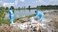 Bệnh dịch tả lợn châu Phi ở Nghệ An đã 'hạ nhiệt'