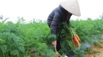 Hoàng Mai: Cà rốt Nhật phủ nilon cho thu nhập 15 triệu/sào