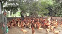 Xây dựng thương hiệu gà thả đồi Yên Thành
