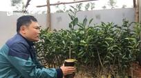 Trồng chanh không hạt vỏ mỏng mọng nước ở Đô Lương