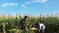 Nông dân một huyện ở Nghệ An thu 20 tỷ đồng từ trồng cây ngô và cỏ