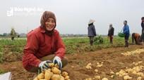 Trồng giống khoai tây mới, nông dân Nghi Lộc thu tiền tỷ