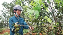 Thành công vụ đầu của vườn cam quy mô trên đất chè Thanh Mai