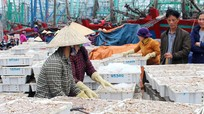 Ngư dân Nghệ An liên tiếp trúng đậm cá trỏng sau Tết