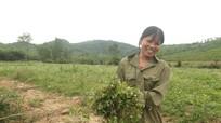 Nông dân Đô Lương kiếm tiền triệu từ rau má rừng