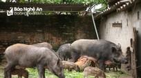Thu nhập tốt từ nuôi lợn rừng Thái Lan ở miền núi Nghệ An