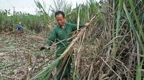Nông dân Nghệ An trồng mía đạt 60 triệu đồng/ha trên đất cao cưỡng