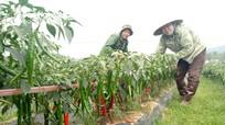Trồng ớt cay cao sản thu gần 150 triệu đồng/ha