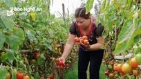 Nông dân Nghệ An ghép cà chua trên gốc cà tím cho năng suất 5 tấn/sào