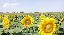 2,5 ha hoa hướng dương trái vụ ở Nghệ An nở rộ