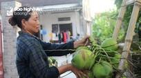 Nắng nóng, làng trồng dừa Nghệ An 'hái tiền triệu' mỗi ngày