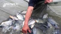 Nông dân Yên Thành nuôi cá rô phi VietGAP đạt sản lượng 20 tấn/ha