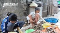 Người nuôi hàu ở Nghệ An thất thu vì mất mùa