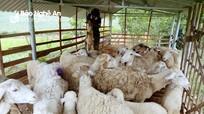 Hộ dân thứ 2 ở Nghệ An nuôi thành công cừu sinh sản