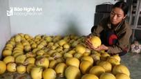 Nông dân Nghệ An trồng dưa vàng Nhật Bản cho thu lãi 20 triệu đồng/sào