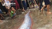 Ngư dân Nghệ An bắt được cá lạ nặng 50kg, có chùm râu dài hơn 1 mét