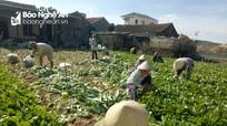 Nông dân Nghệ An trồng cải bẹ xanh xuất khẩu