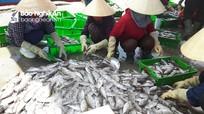 Ngư dân Quỳnh Lưu trúng đậm cá kình xuất khẩu