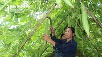 Mướp hương trái vụ đạt giá cao ở Nghệ An