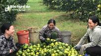 Cam Nghệ An đầu mùa được giá