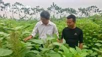 Nông dân thu hơn 60 triệu/ha từ trồng gai lấy sợi trên đất bãi