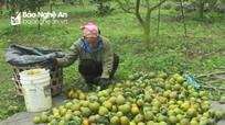 Nông dân Nghĩa Đàn lao đao vì cam xuống giá thấp nhất 3.500đ/kg