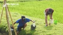 Người dân dùng hóa chất bắt giun trên đồng ruộng