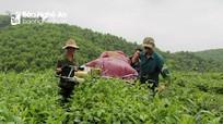 Nông dân Nghệ An phấn khởi thu hoạch lứa chè xuân đầu tiên