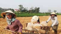 Nông dân Nghệ An nhộn nhịp thu hoạch khoai tây