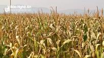 Hàng trăm ha ngô, lạc ở Đô Lương bị chết cháy do nắng nóng