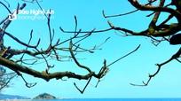 Vẻ đẹp của những cây bàng mồ côi ở biển Cửa Lò trong ngày xuân